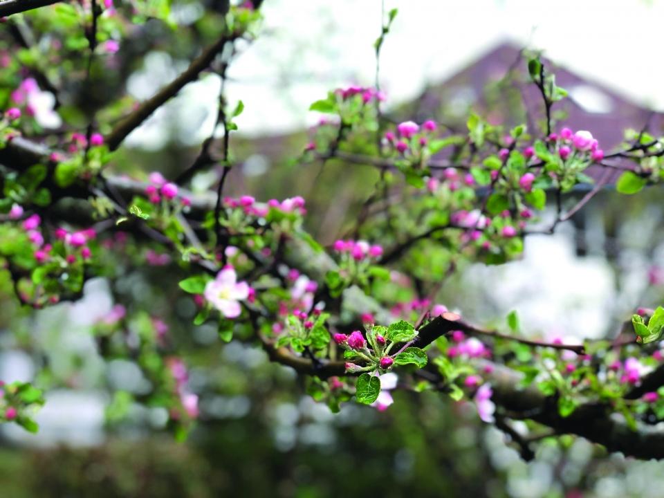 Virágzó almafa a Hargitán 2020 májusában